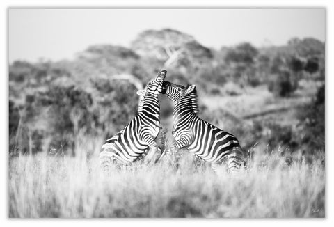 "African Zebra Walking Art Print 23"" x 15"" BW26"