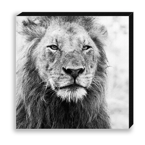 CANVAS 30*30 BW35 Lion