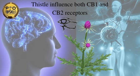 Milk Thistle Influence Both CB1 And CB2 Receptors