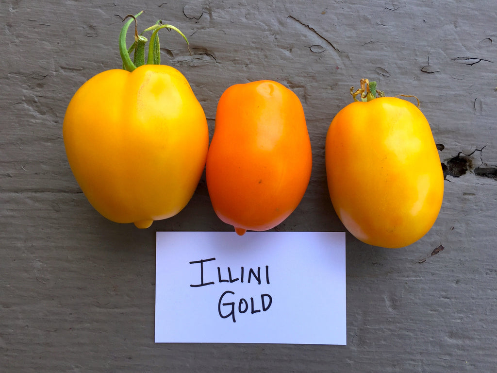 Illini Gold Tomato Seeds