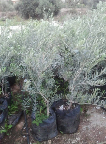Olive tree from the Holy Land