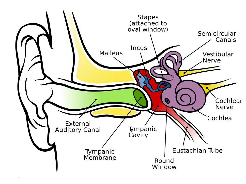 The Anatomy of The Human Ear