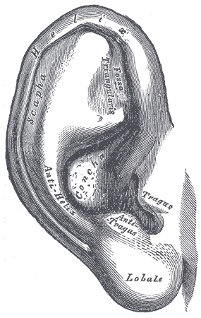Parts of the outer ear
