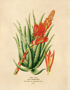 Vintage Torch Aloe Botanical Print