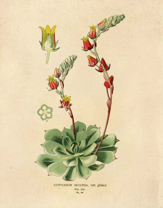 Vintage Blooming Echeveria Botanical Chart