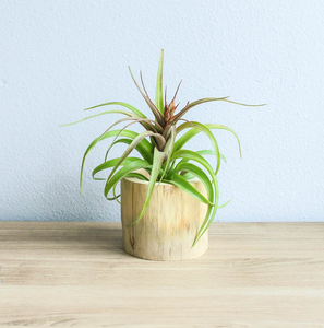 Driftwood Air Plant or Succulent Container