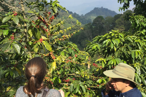How Coffee Cherries Become Coffee Beans