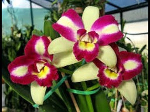 Rlc. Haw Yuan Beauty 'Rainbow'