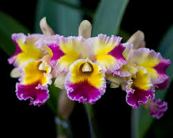 Rlc. Hawaiian Lightening 'Fiesta'