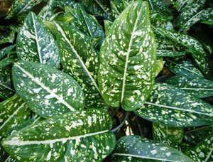 Aglaonema Galaxy Series