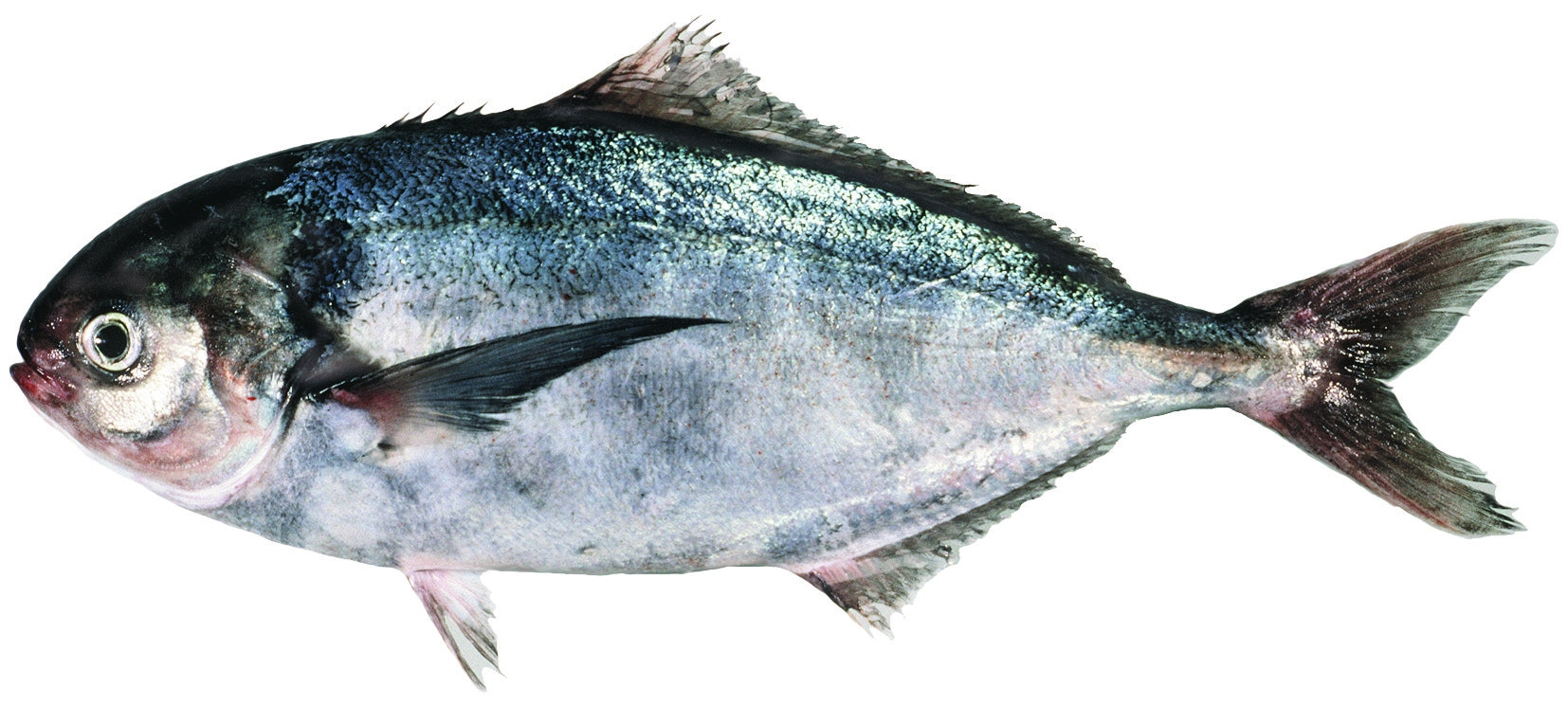 Trevally  Spotted Local