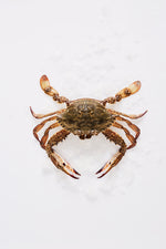Load image into Gallery viewer, Crab Meat Blue Swimmer West Australian