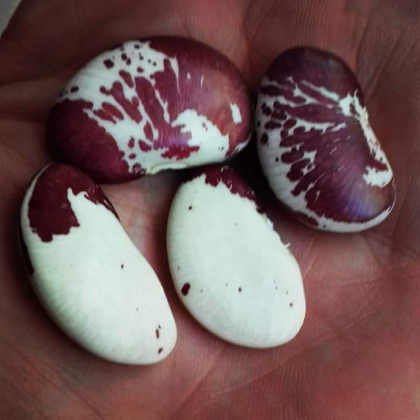 Seven year bean, Madagascar or Nguni beans, a must for the garden.