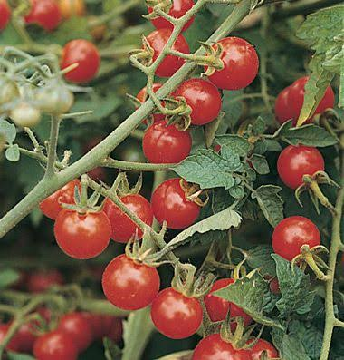 MATT'S WILD CHERRY TOMATOES X 15 SEEDS