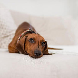 Dog Gut Bacteria: Why It Matters