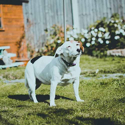 Hip Dysplasia in Your Dog