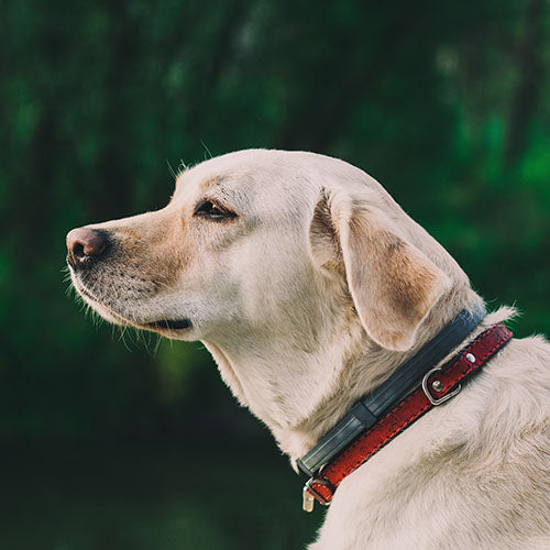 Labrador Retriever Temperament and Behavior