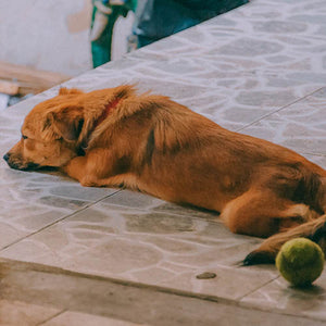 Torn ACL in Dogs: What to Expect