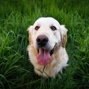 Why Do Dogs Eat Grass: Debunked