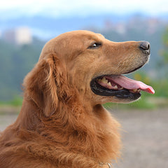 the most surprising common golden retriever health problems