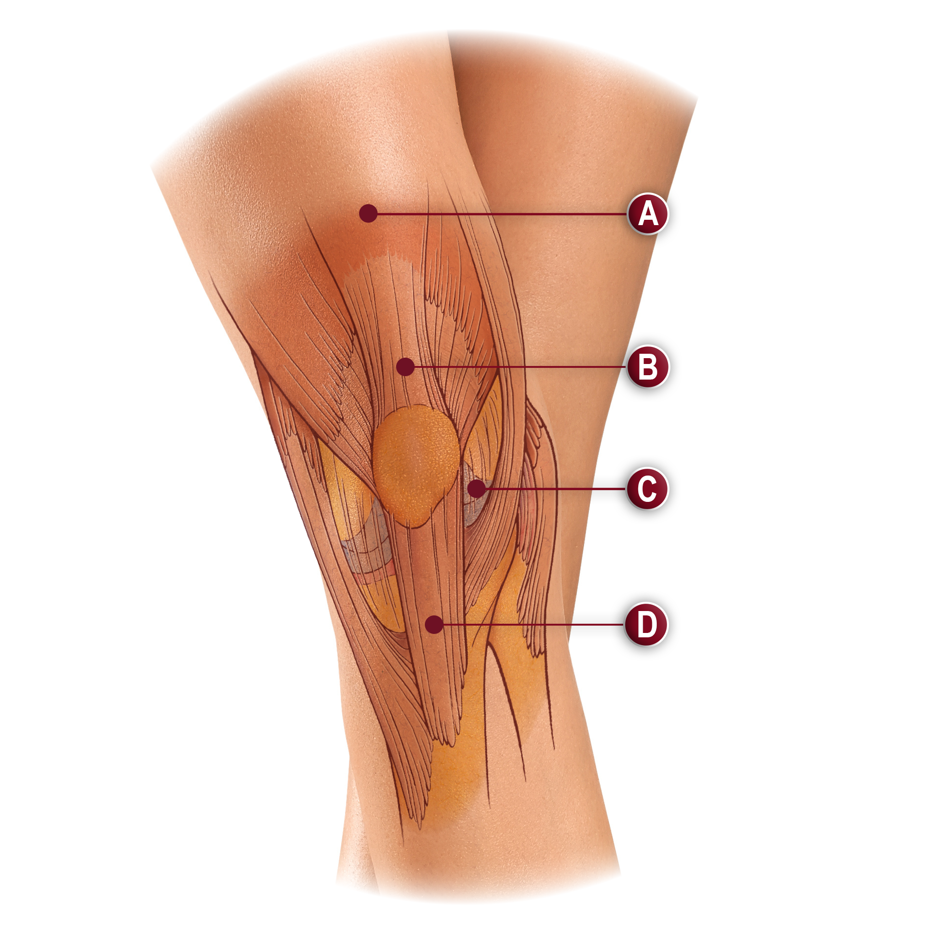 SOFT TISSUES OF THE KNEE ANATOMY ILLUSTRATION