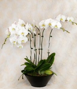 Three Double Orchid Arrangement