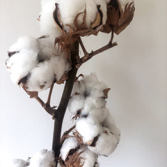 Real Dried Cotton Branch