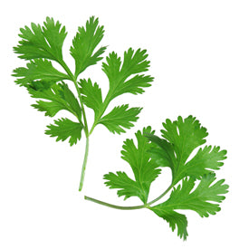 Cilantro Infused Olive Oil