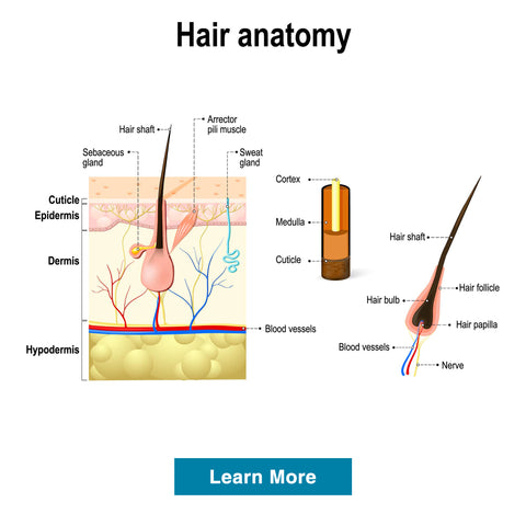 hair-anatomy