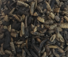 Black Soldier Fly Grubs - FREE SHIPPING