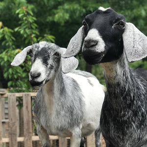 07/06/19 Introduction to Goat Keeping 10am-12pm