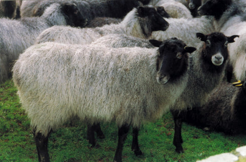stansborough grey sheep