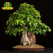 Multi colors True Japanese Maple 50pcs Bonsai Tree Seeds Very Beautiful 100% Real Rare Maple Plants Potted Tree For Home Garden
