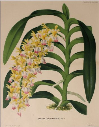 22996i-aerides-houlletianum-10x13.5-195_1543_detail
