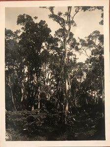 1923 Vintage Photograph of The Forest At Volcano, Hawaii