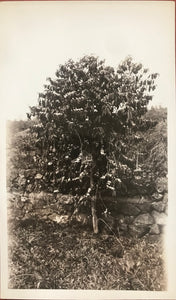 Vintage Photograph Of A Coffee Tree In Kailua Kona Hawaii