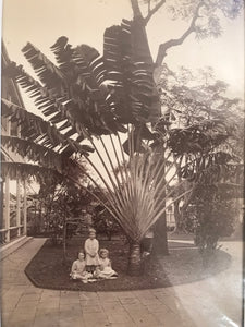 1880's Vintage Albumen Photograph By Gonsalves Of A Travelers Palm Hawaii