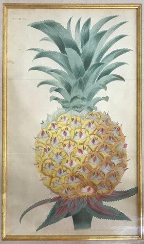 1822 Original Hand Colored Engraving Of A Pineapple