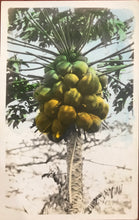 1920's Vintage Hand Colored Real Photo Post Card Of Papaya Tree Hawaii