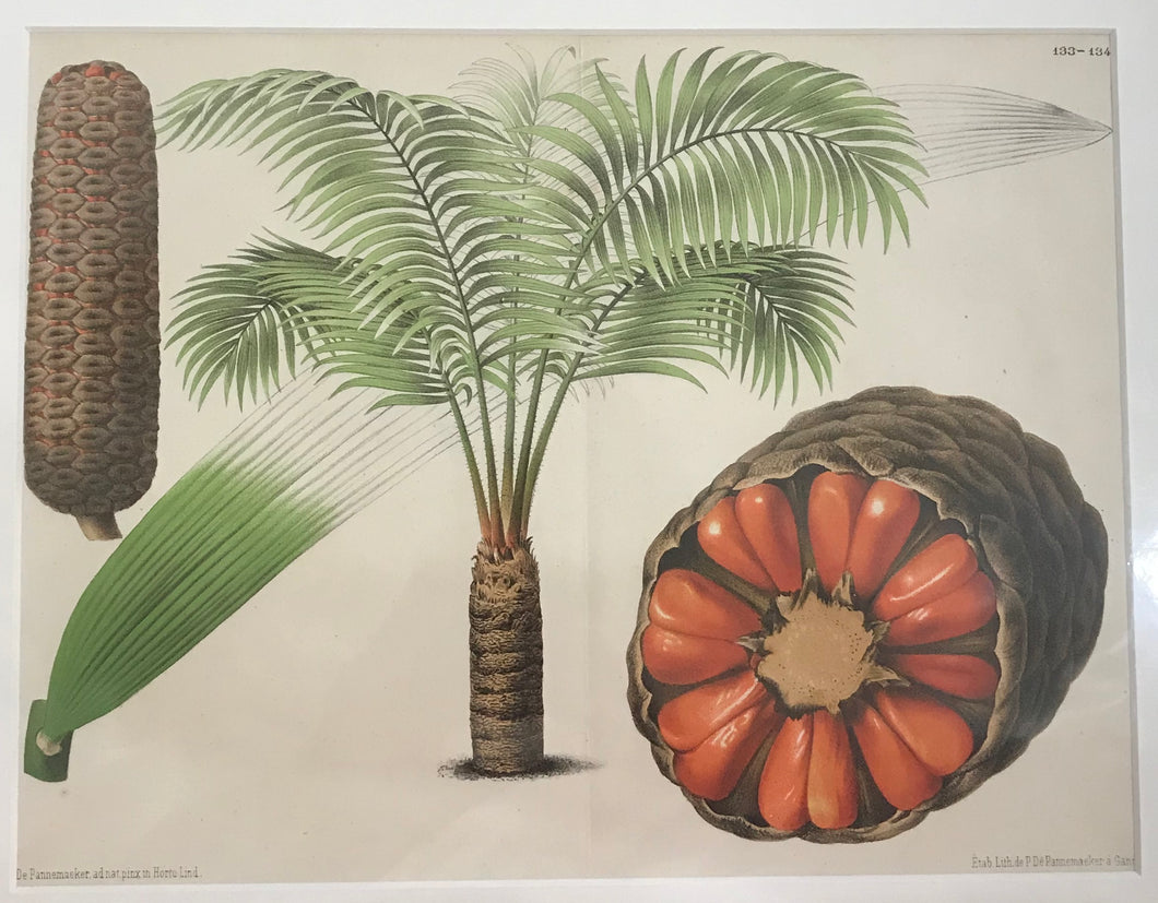 1890's Original Lithograph Of A Palm Plant