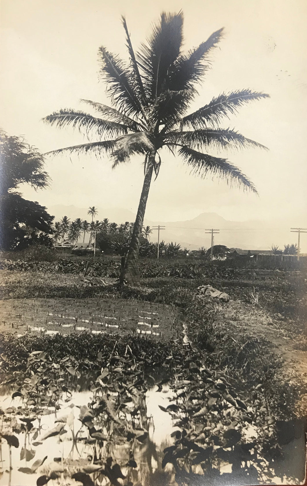 1920 Vintage Real Photo Post Card Of A Taro Farm In Honolulu Hawaii