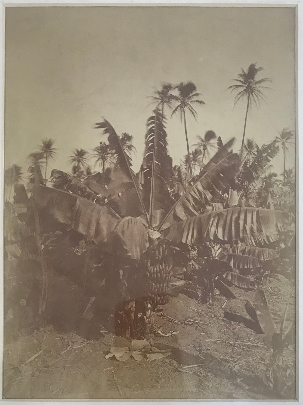 1885 Albumen Photo Of A Banana Tree In Hawaii