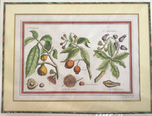 1770 Original English Hand Colored Engraving Of Tropical Fruit, Rare