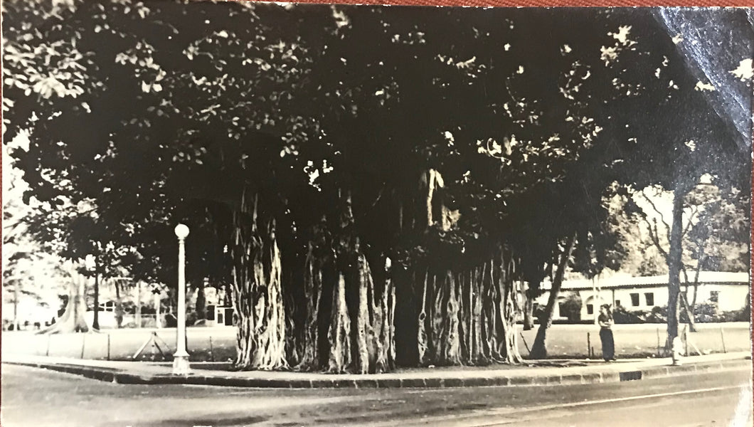 Vintage Photograph Of A Banyon Tree In Honolulu Hawaii