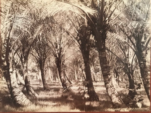 "Vintage Albumen Photograph of ""Cocoanut Grove, ""Old Plantation"""""