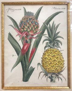 1810 Original Copper Plate Engraving Of A Pineapple