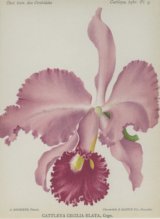Orchid020
