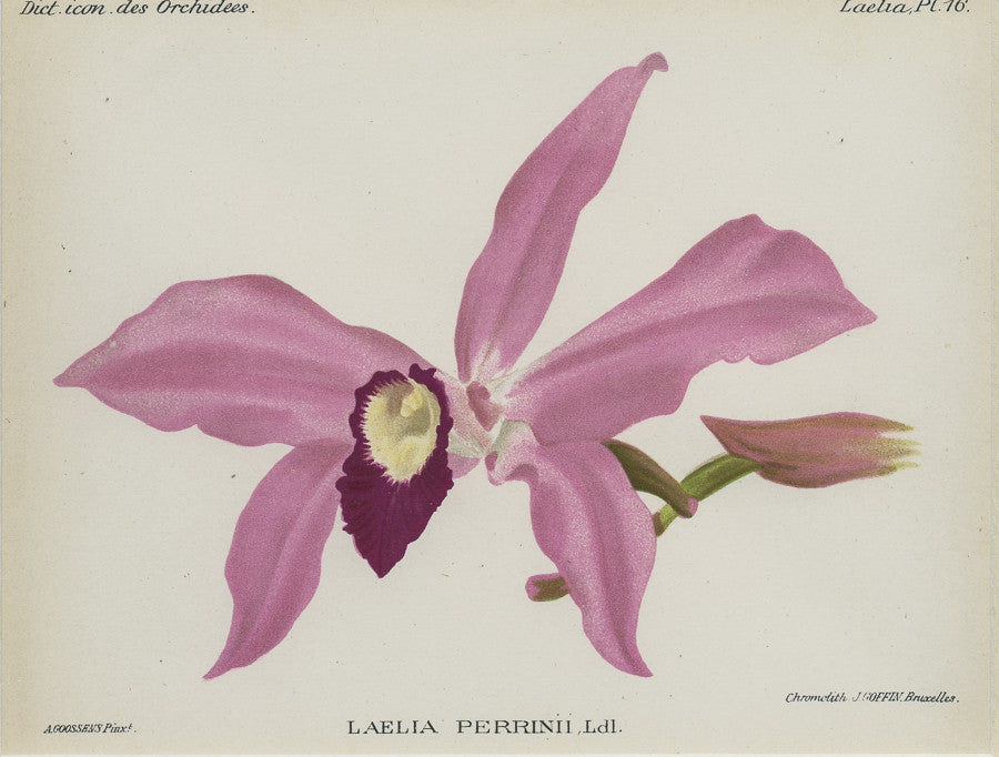 Orchid022