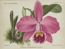 Orchid030