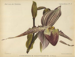 cypripedium_elliottianum_7.25x5.5_2127_detail